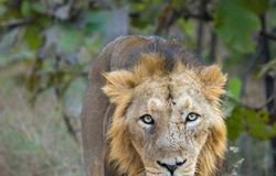 GUJRAT: The largest Indian cat, Asiatic Lion aka Sher, are also endangered. They are well-known for hunting in big groups called prides using precise strategy.